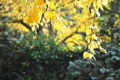 Листья осени вися от дерева березы Стоковое Фото