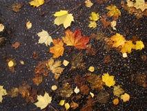 Листья осени влажные лежат на предпосылке темного асфальта Стоковая Фотография RF