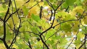 Листья осени в ветре акции видеоматериалы