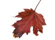 Листья осени в Великобритании Стоковое Изображение