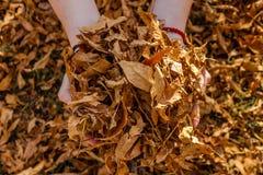 Листья осени в руках девушек Стоковая Фотография