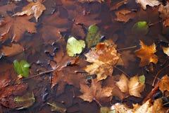 Листья осени в лужице Кленовые листы в воде крупный план предпосылки осени красит красный цвет листьев плюща померанцовый Стоковые Фотографии RF