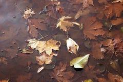 Листья осени в лужице Кленовые листы в воде Стоковая Фотография RF
