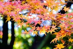 Листья осени в Японии Стоковое Фото