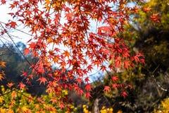 Листья осени в Bei Jiu Shui отстают, гора Laoshan, Qingdao, Китай Стоковое Изображение