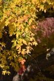 Листья осени: Дерево, красные цветы и золота клена стоковые фото