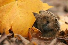 Листья осени ежа Стоковая Фотография