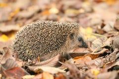 Листья осени ежа Стоковые Фото