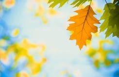 Листья осени желтые среди зеленого листва Стоковое фото RF