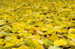 Листья осени зеленый цвет предпосылки выходит желтый цвет крупный план предпосылки осени красит красный цвет листьев плюща помера Стоковые Фотографии RF