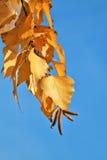листья осени золотистые Стоковые Фотографии RF