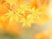листья осени золотистые Стоковое Изображение