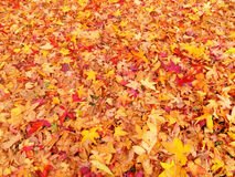 листья осени золотистые Стоковое Изображение RF
