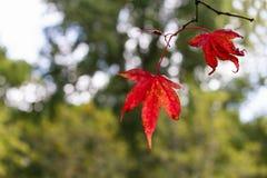 Листья осени или падения красные с космосом для текста Стоковые Изображения