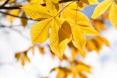 Листья осени каштана в солнечном свете Стоковые Фотографии RF