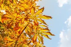 Листья осени каштана против голубого неба Селективный фокус Стоковая Фотография