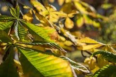 Листья осени каштана Стоковая Фотография RF