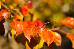 Листья осени красные и зеленые закрывают вверх Стоковая Фотография RF