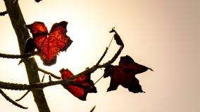 Листья осени красные, Ла Serena, Чили Стоковые Изображения