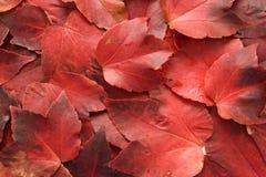 листья осени красные Стоковые Изображения RF