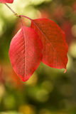Листья осени крупного плана красные с вертикалью Bokeh стоковые фотографии rf