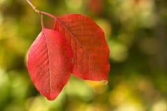 Листья осени крупного плана красные с Bokeh стоковое изображение rf