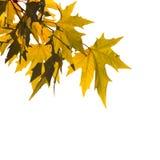 листья осени над белизной Стоковые Изображения RF