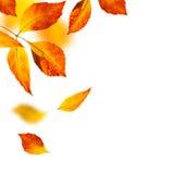 Листья осени на белой предпосылке Стоковые Изображения
