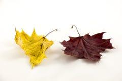 Листья осени на белой предпосылке стоковые фотографии rf