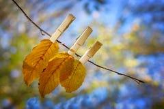 Листья осени на ветви с деревянными зажимами Стоковые Фотографии RF