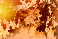 Листья осени на дереве осветили светом солнца - листьями осени на дереве Стоковые Изображения
