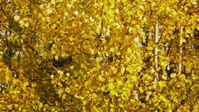 Листья осени на деревьях пошатывая с ветром на солнечный день сток-видео