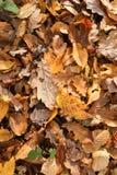 Листья осени на том основании в древесинах Bencroft в Хартфордшире, Великобритании Стоковая Фотография