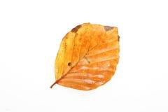 листья осени одиночные Стоковая Фотография