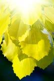 листья осени осины Стоковая Фотография