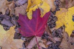 листья осени пестротканые стоковые изображения rf