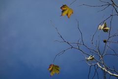 Листья осени платана на голубом небе Стоковая Фотография