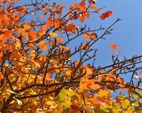 Листья осени против голубого неба Стоковая Фотография