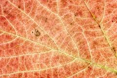 Листья осени. Текстура предпосылки макроса Стоковое Фото