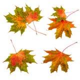 Листья осени установили собрание Кленовые листы изолированные на белой предпосылке Стоковая Фотография RF