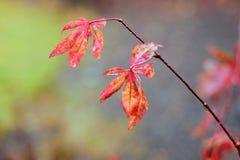 Листья осени, японский клен Стоковые Изображения