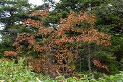 Листья осени японской рябины в зоне плато стоковые изображения rf