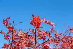 Листья осени японской рябины в зоне плато стоковое изображение