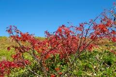 Листья осени японской рябины в зоне плато стоковая фотография rf