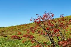 Листья осени японской рябины в зоне плато стоковое фото