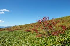 Листья осени японской рябины в зоне плато стоковое изображение rf