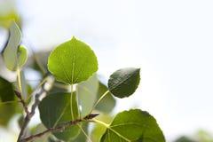 листья осины близкие вверх стоковые фотографии rf