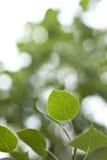листья осины запачканные предпосылкой стоковое фото rf