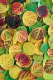 листья осины Стоковая Фотография