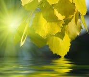 листья осины стоковое изображение